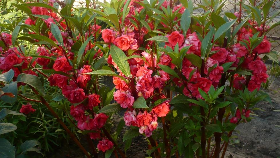 Бальзамин садовый многолетний