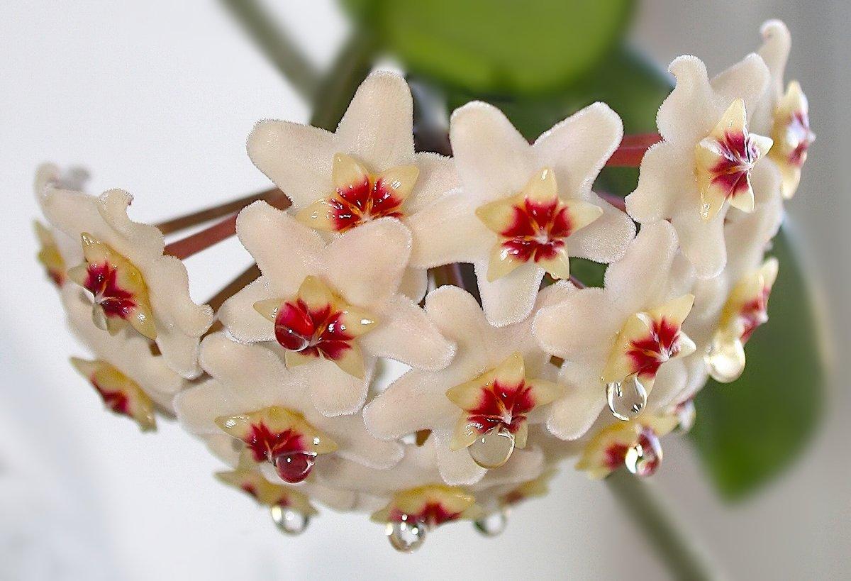 цветок хоя в картинках интерьеров рязани