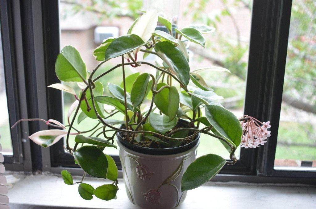 Хойя белла 33 фото уход за хойей прекрасной в домашних условиях Описание сорта Вариегата и других Способы размножения комнатного цветка