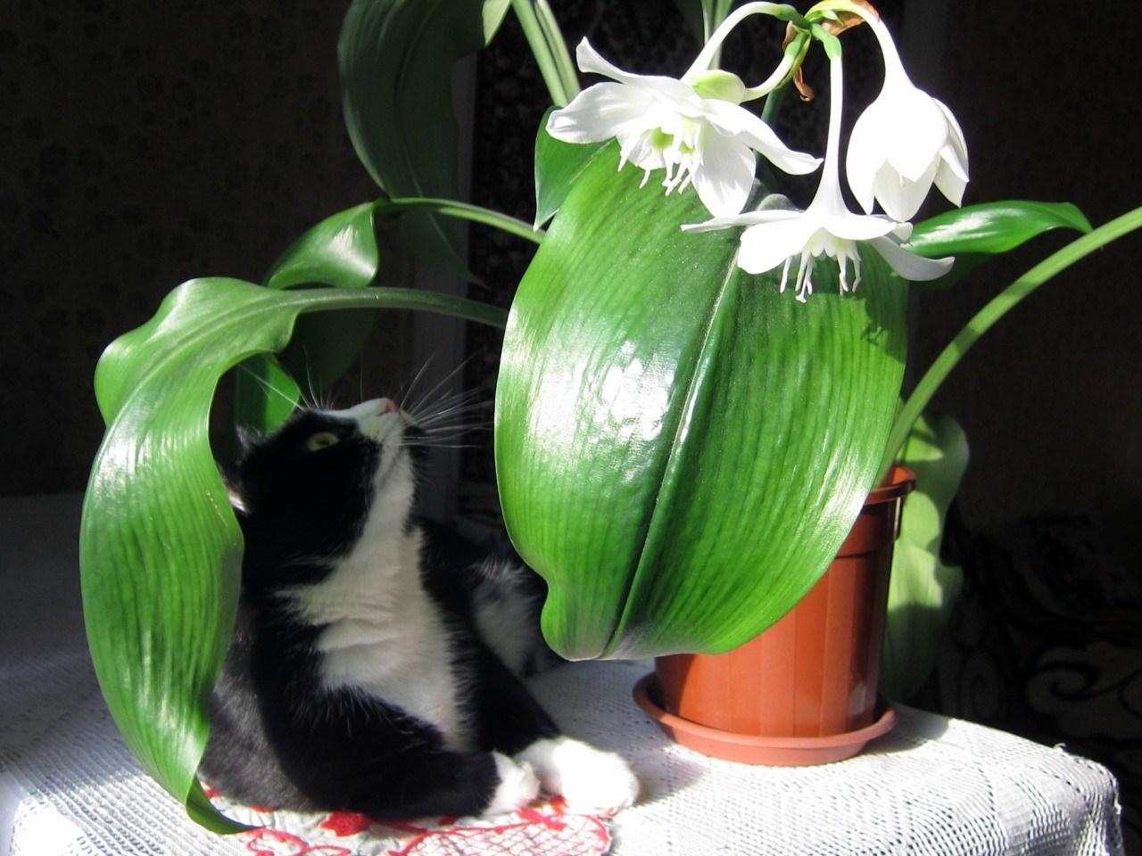 Как поливать амазонскую лилию
