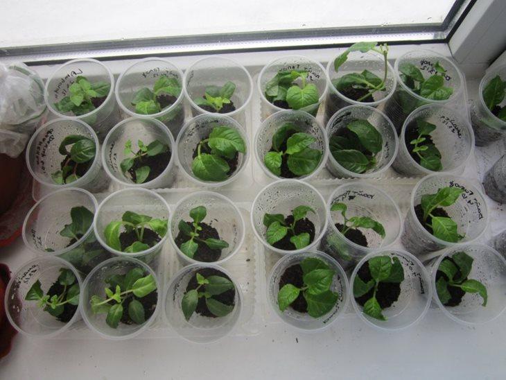 Размножение фуксии разведение отростком листом и семенами в домашних условиях осенью и в другое время