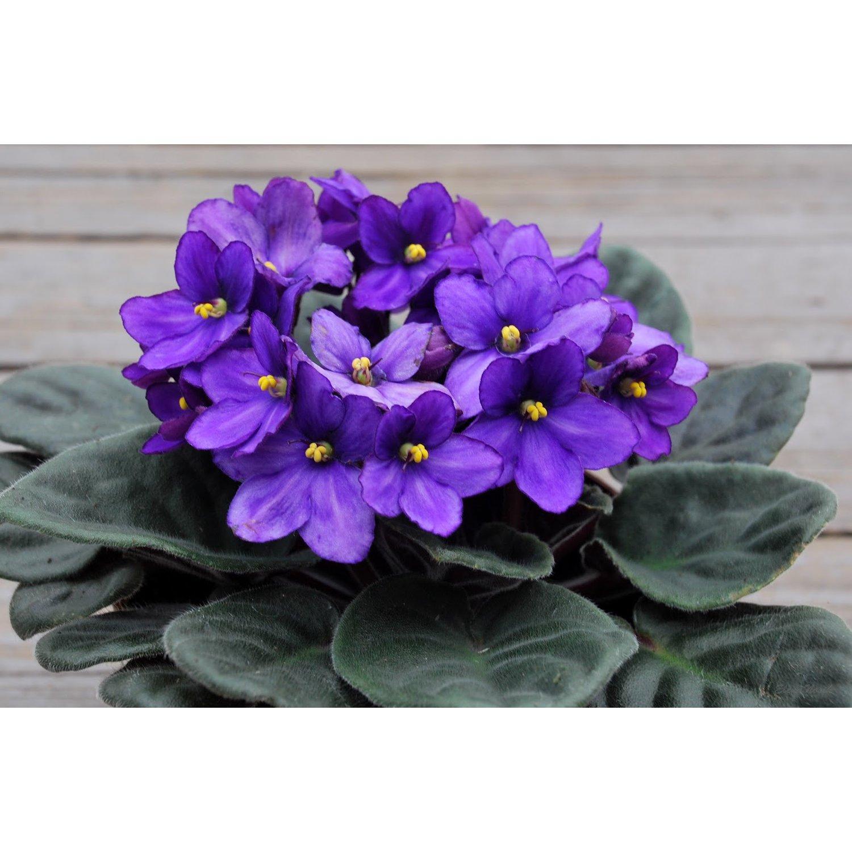 Комнатное растение похожее на фиалку