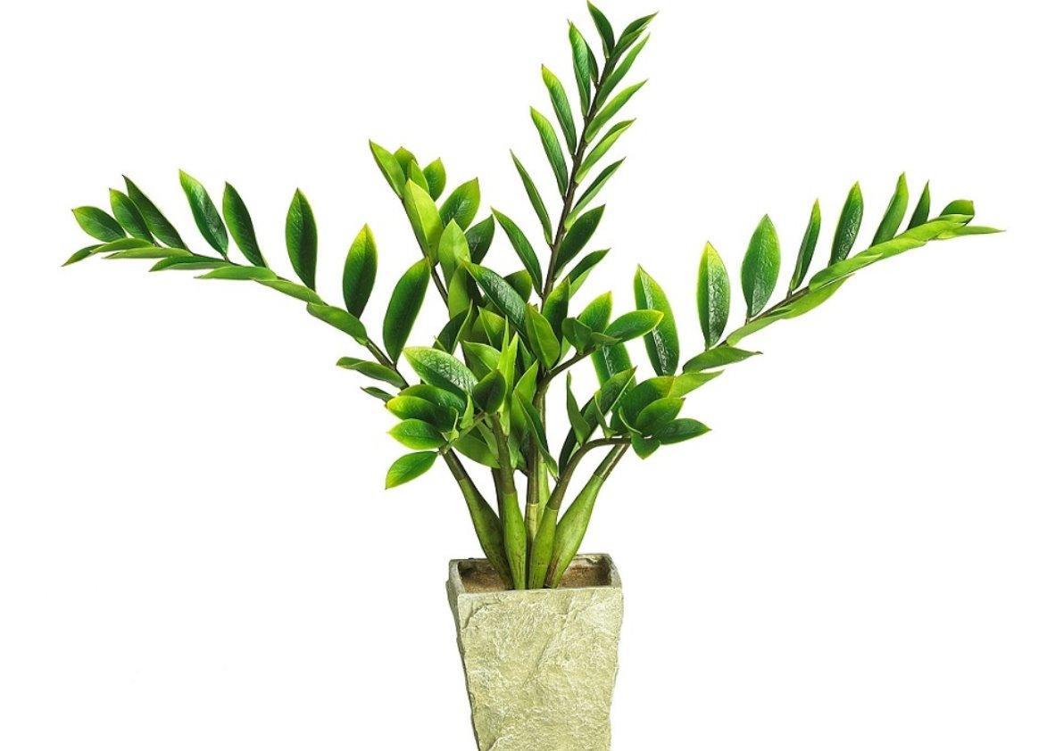 Долларовое дерево уход в домашних условиях пересадка