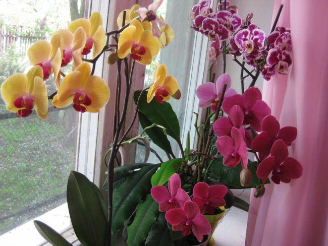 Как вырастить орхидею из корешка