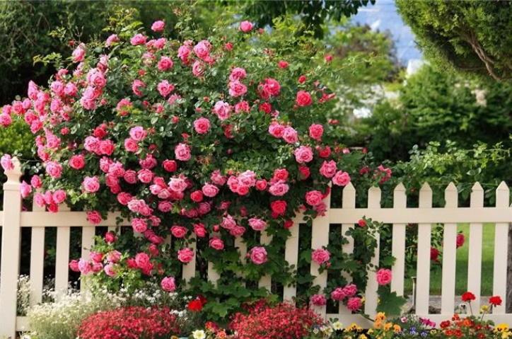 Как вырастить розу из черенка?