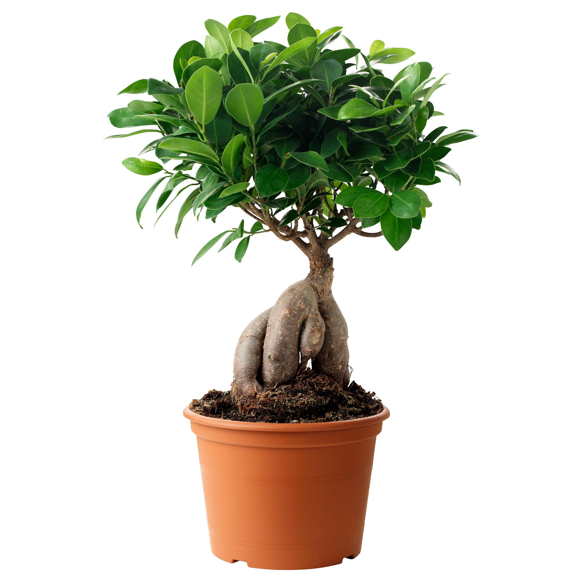 наших растения для комнатного бонсая в картинках создадут