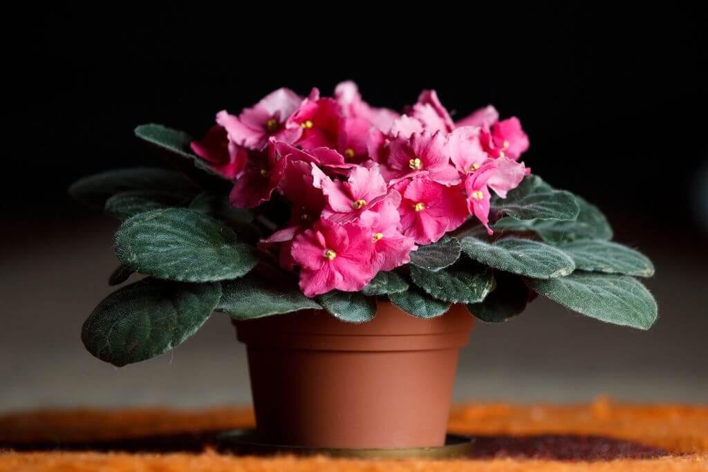 Фиалка комнатная - уход в домашних условиях, полив, размножение, описание растения