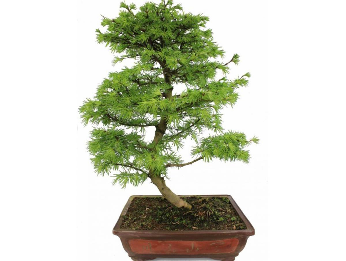 Дерево бонсай: как вырастить, виды и уход, сколько растет, китайский набор, как посадить, что символизирует