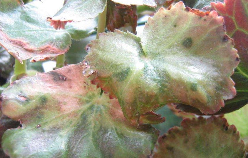 У бегонии сохнут листья — что делать