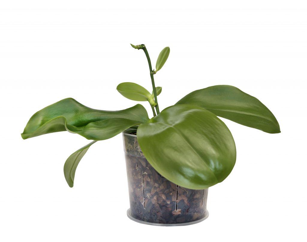 Как в домашних условиях можно пересаживать детку орхидеи