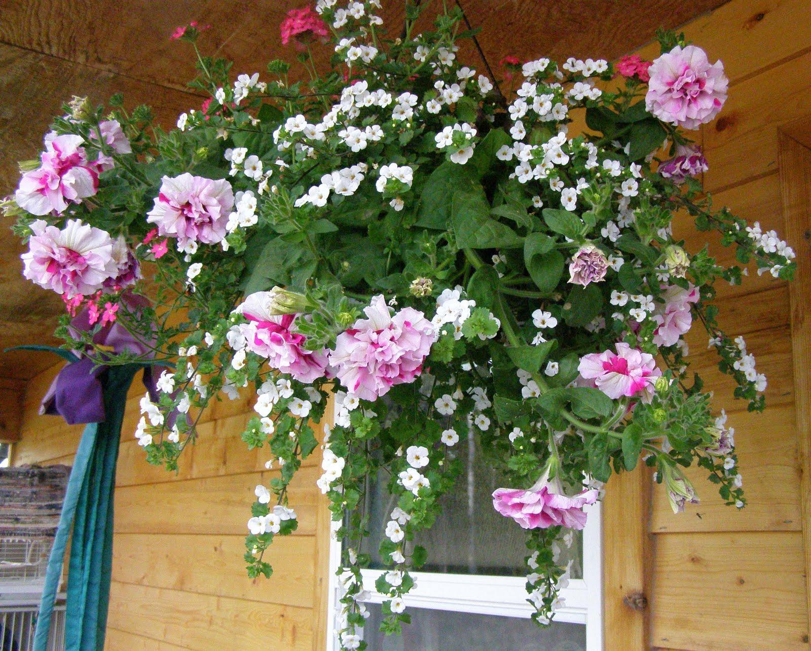 Ампельные комнатные растения и ампельные цветы для балкона: выращивание