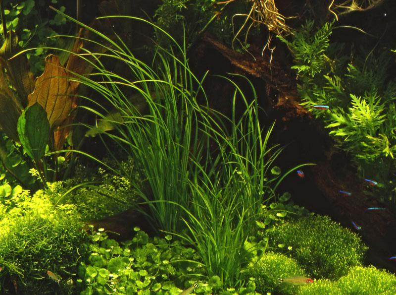 Циперус описание видов уход и размножение в домашних условиях