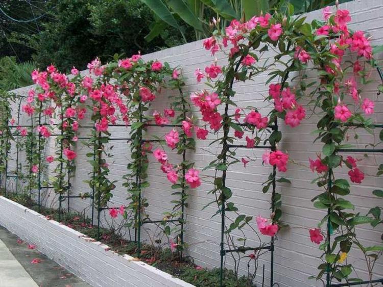 Цветок дипладения — виды, все об уходе