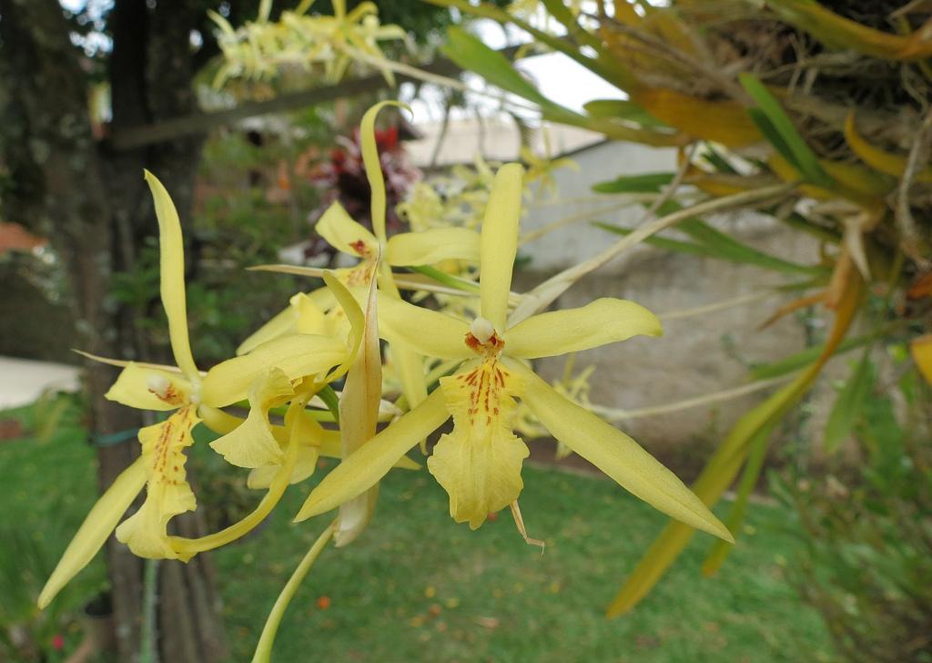 Орхидея мильтония уход в домашних условиях