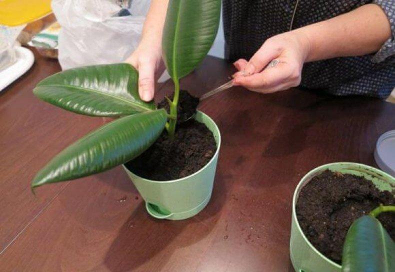 Как посадить фикус листом