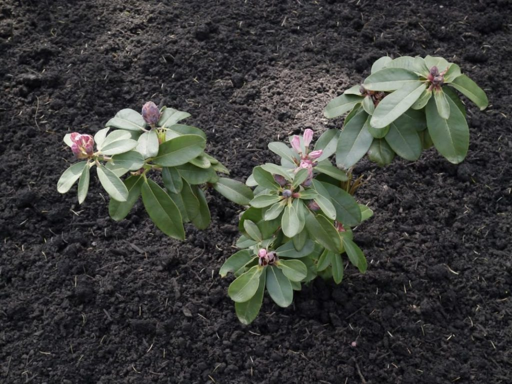 Как сажать Рододендроны, как правильно ухаживать и размножать этот кустарник