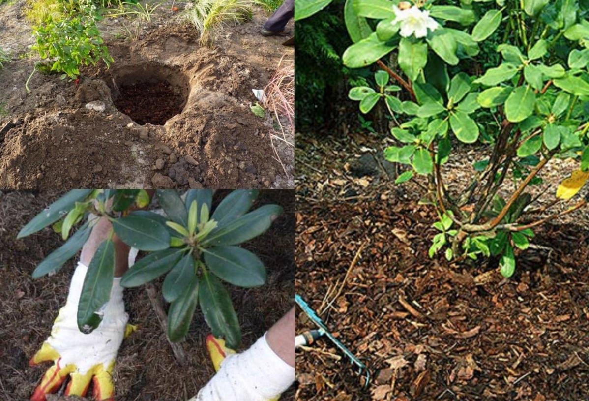 Азалия садовая посадка и уход в открытом грунте подмосковья