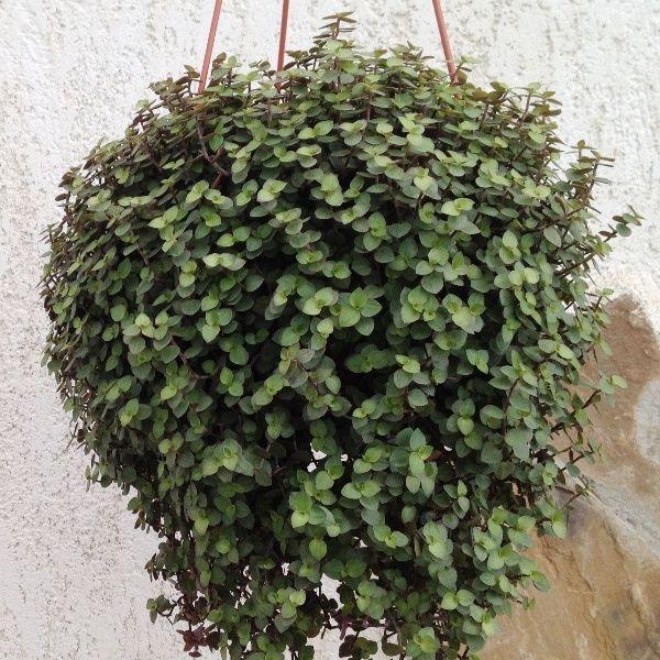 Традесканция сохнут листья по краям