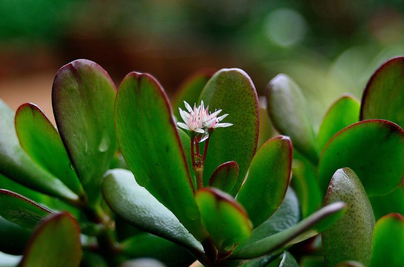Комнатные растения приносящие в дом удачу