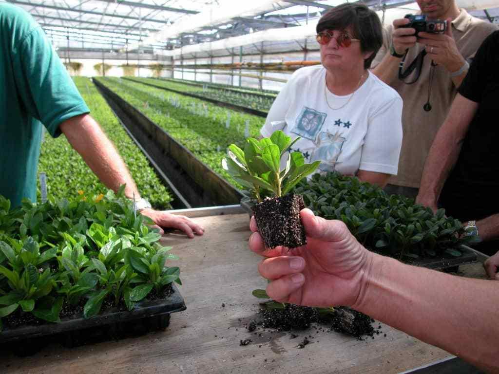 Как вырастить азалию из семян