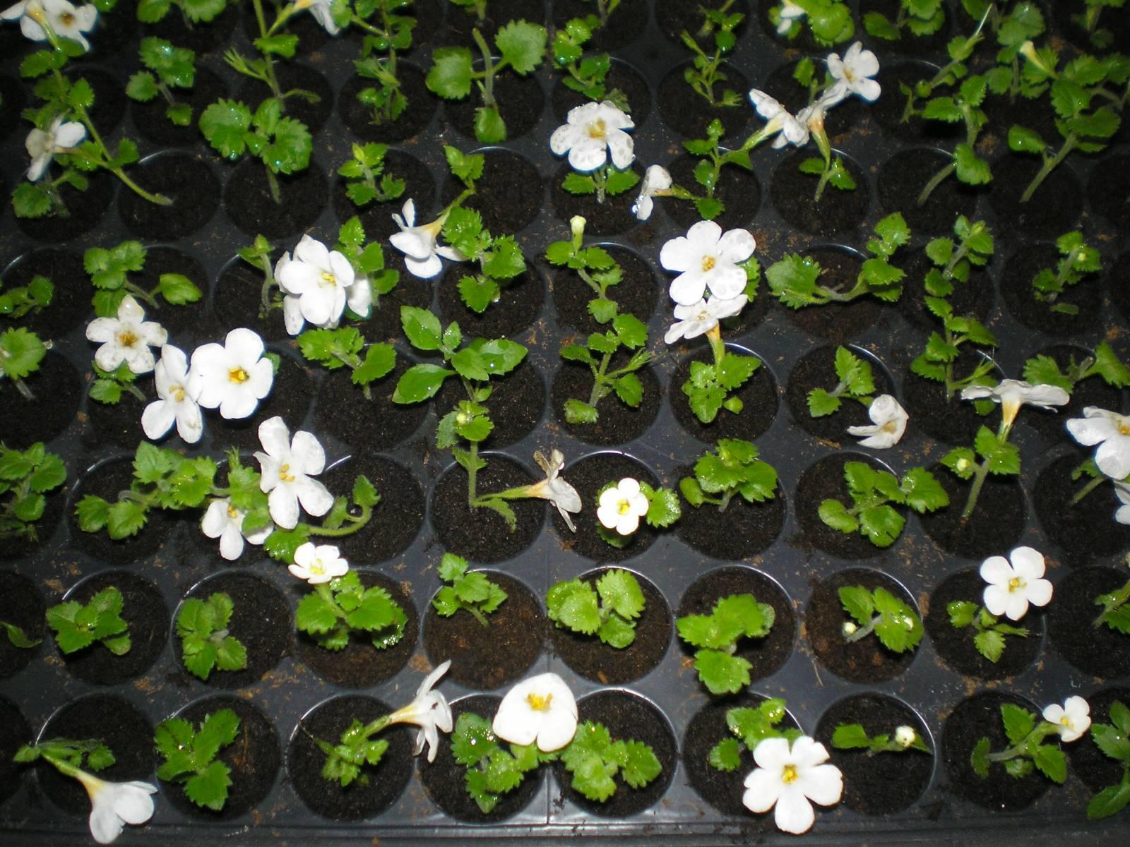 Бакопа – выращивание из семян, фото