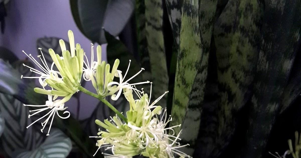 Уход за цветком Тещин язык в домашних условиях как размножается и как его пересаживать