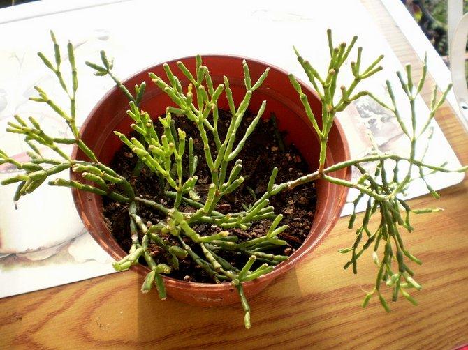 Рипсалис: фото, виды и способы ухода за кактусом в домашних условиях