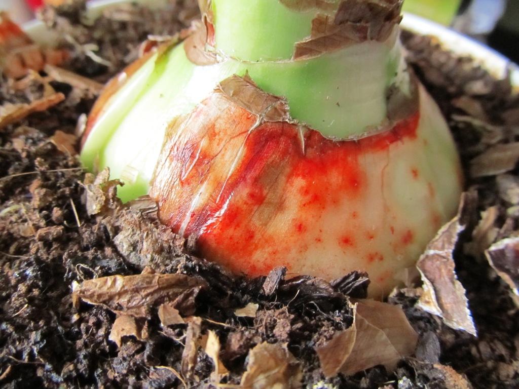 Размножение амариллиса семенами