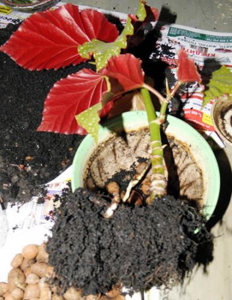Бегония уход в домашних условиях размножение черенками