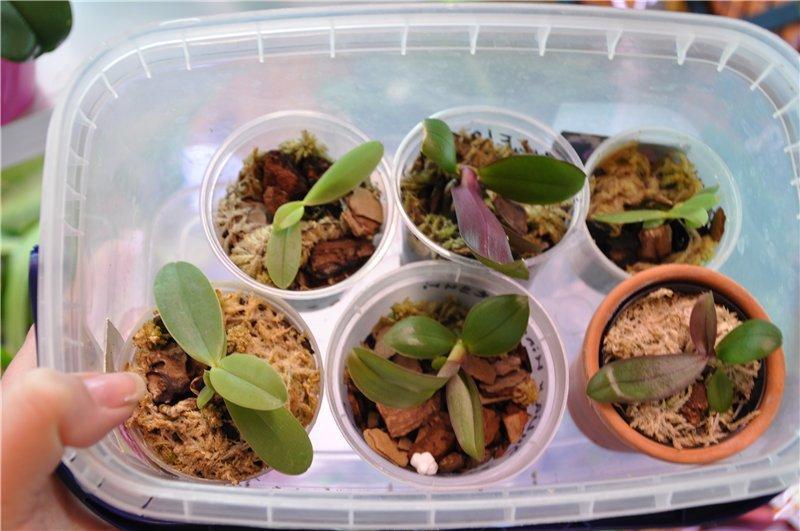 Размножение орхидеи фаленопсис в домашних условиях 31 фото как размножать черенками пошагово Как отделить детку от цветоноса Посадка и уход