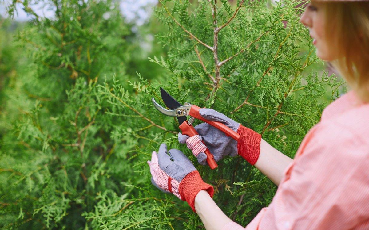 Живая изгородь из туи своими руками