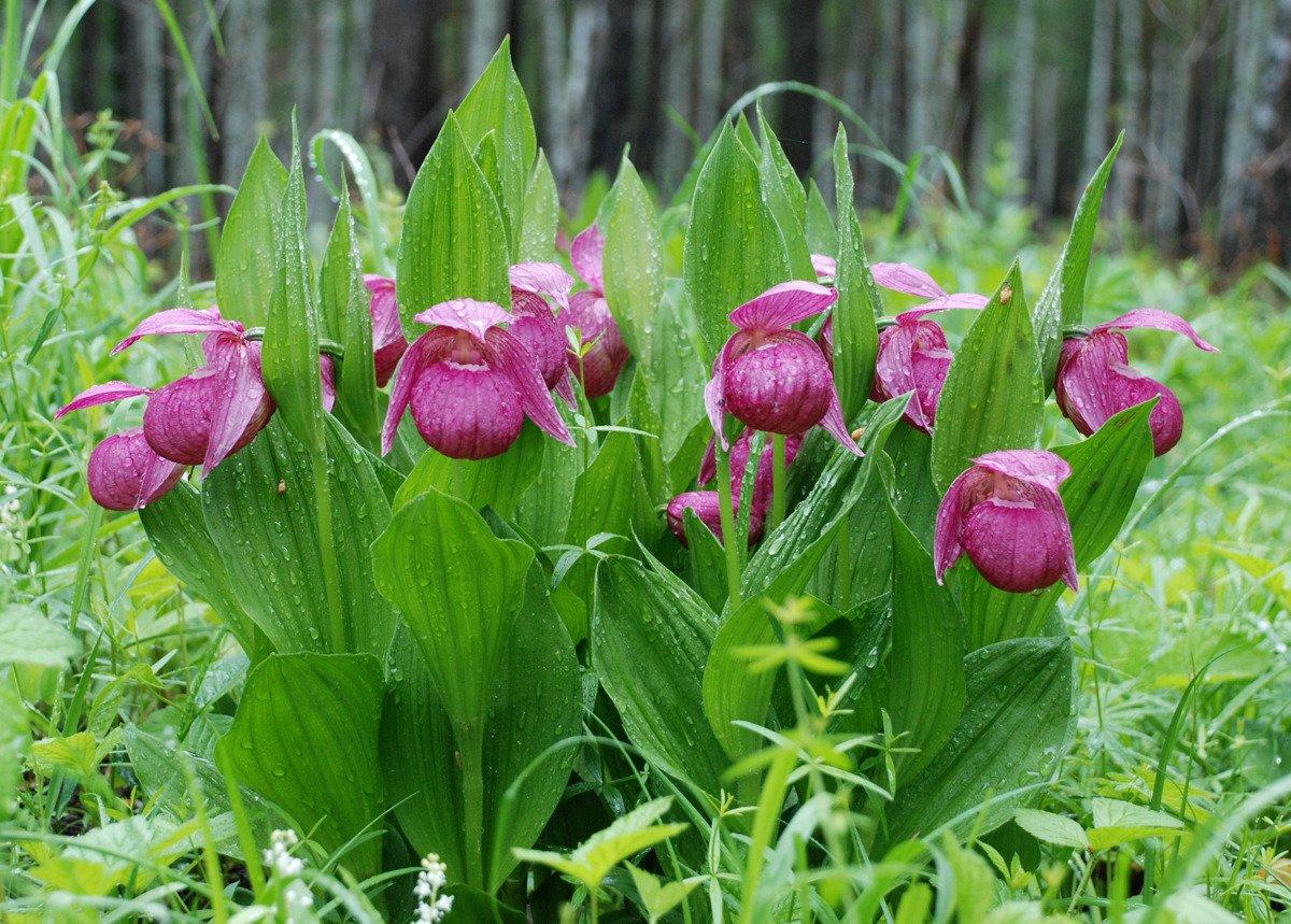 Башмак растение