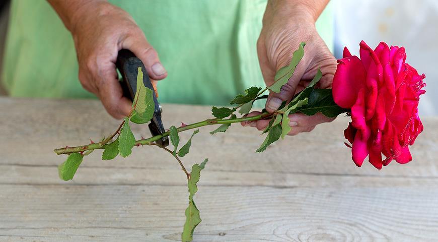 Может ли роза дать корни в воде