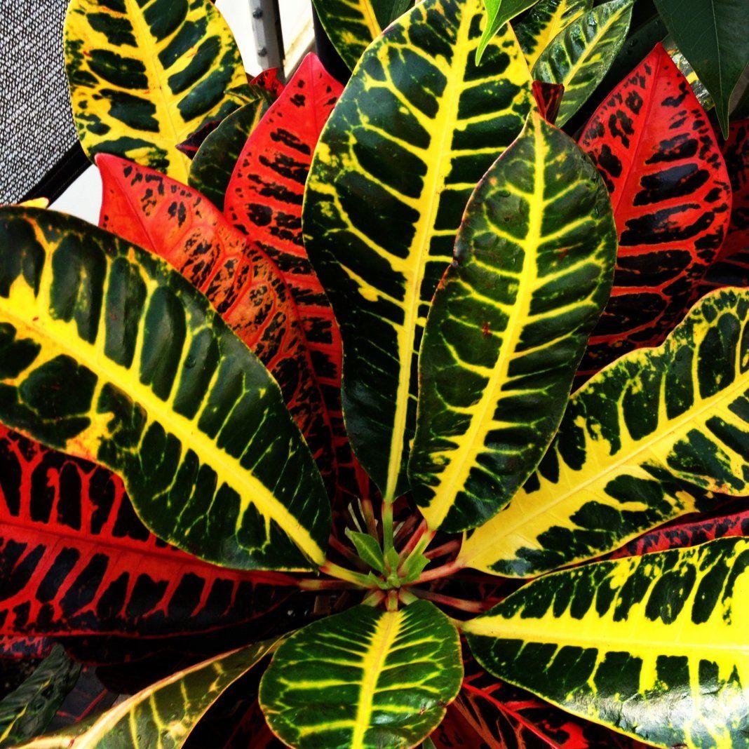 Пуансеттия прекраснейшая (33 фото): уход в домашних условиях, рождественский цветок с красными листьями после покупки