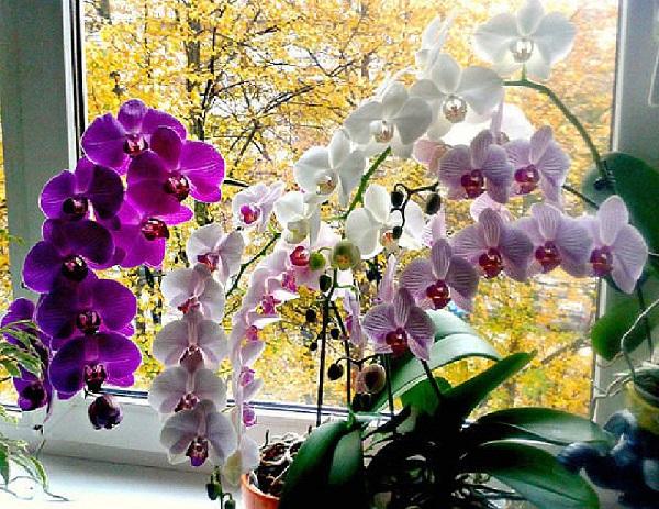 Когда пересаживать орхидею осенью или весной