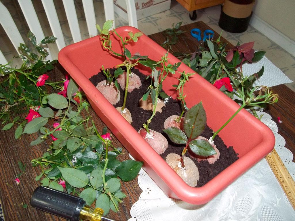 Как укоренять черенки роз в воде