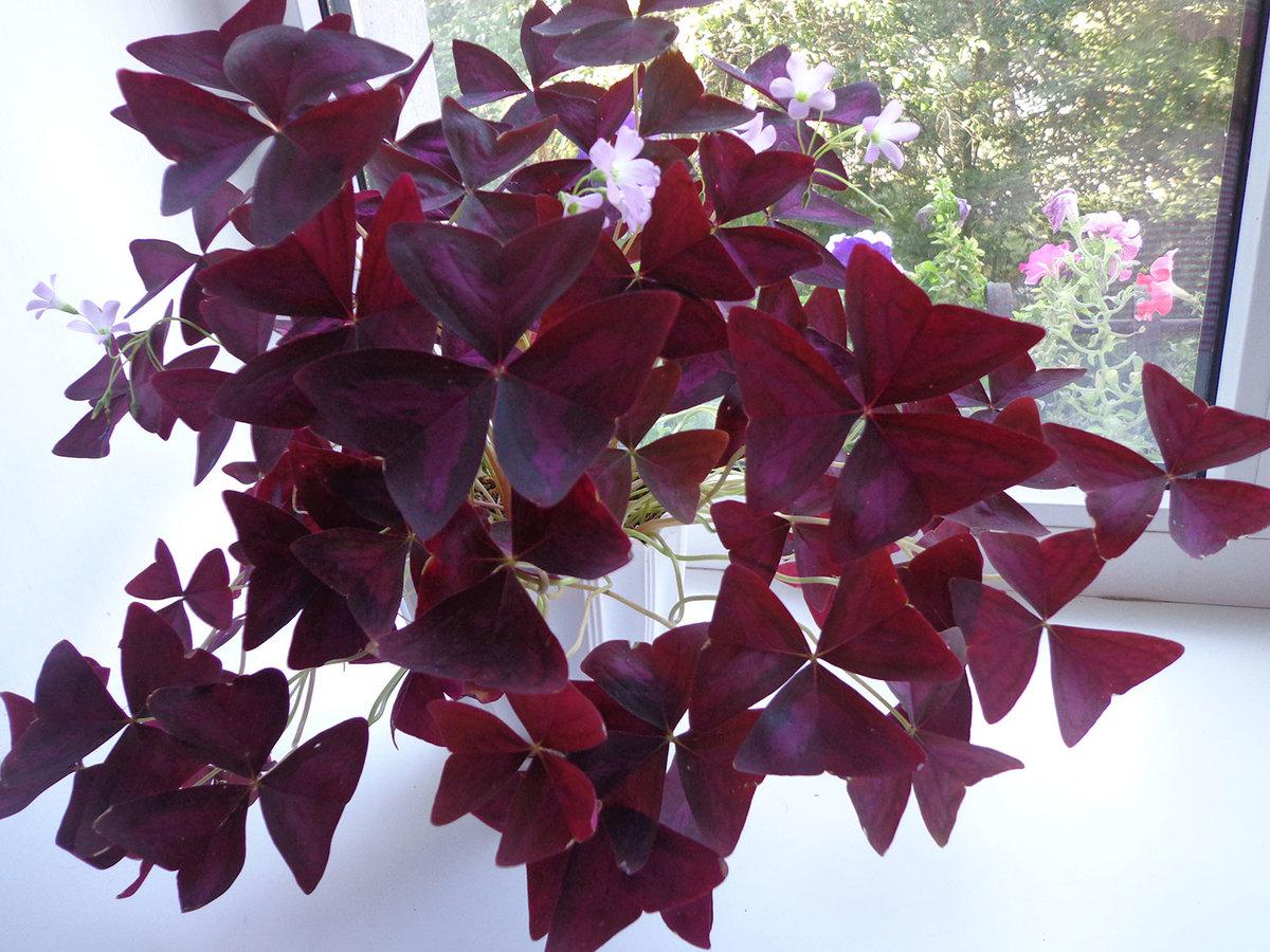 Домашний цветок с красными прожилками