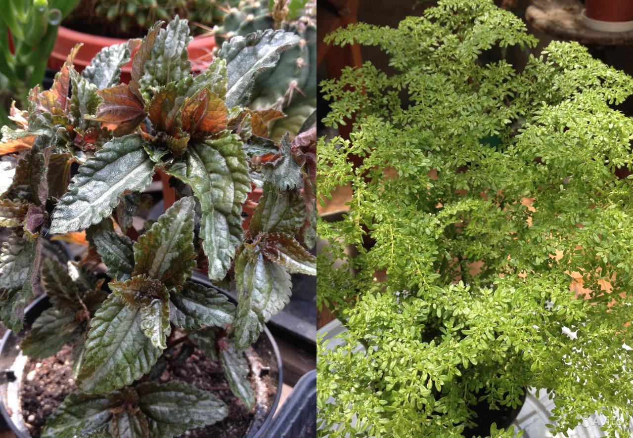 Комнатный цветок пилея монетолистная: виды и уход в домашних условиях