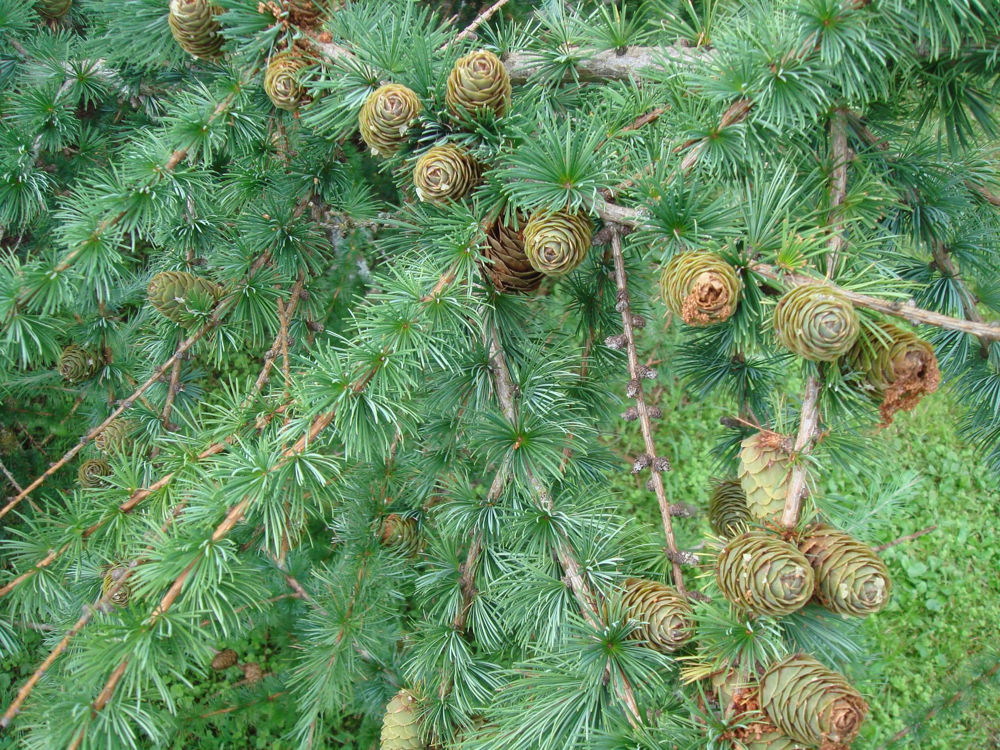 Тополь это лиственное дерево или хвойное