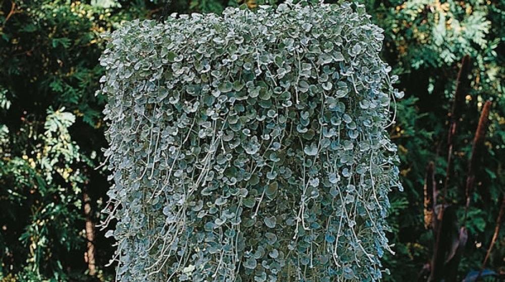 Дихондра изумрудный водопад выращивание из семян