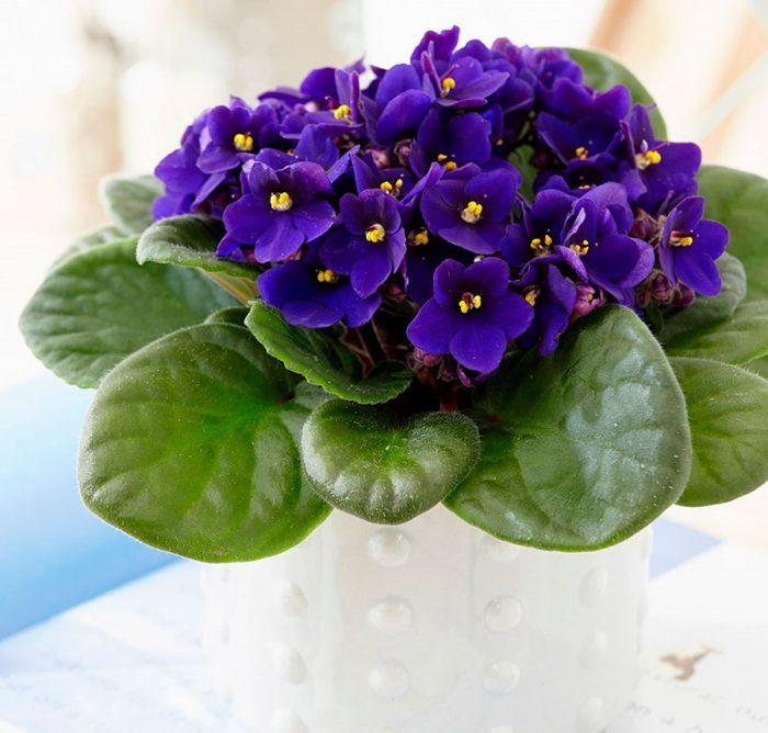 Сорта фиалок с фиолетовыми цветами