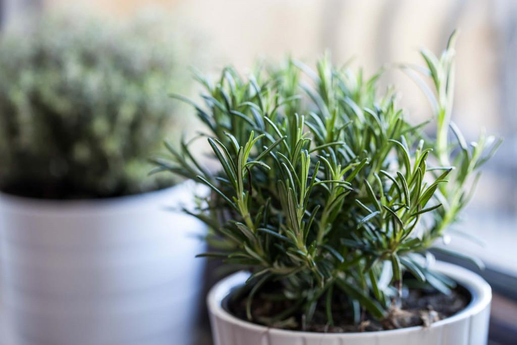 Как ухаживать за розмарином в саду