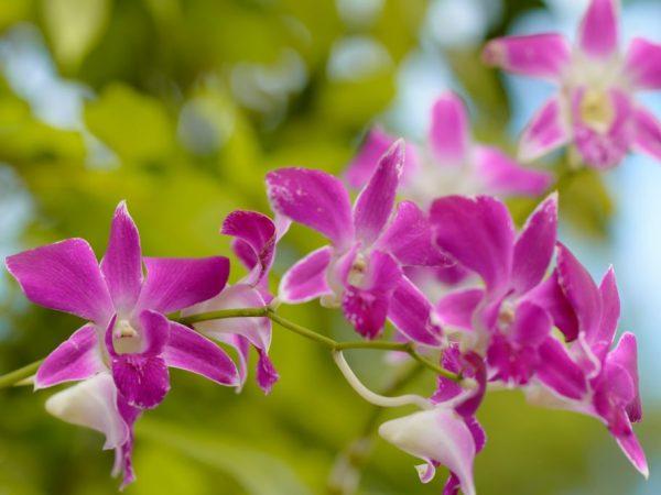 В каких странах растут орхидеи