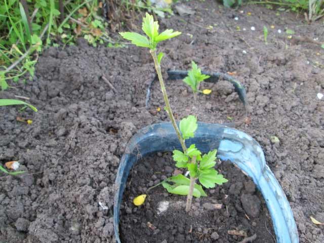 Гибискус садовый- уход и размножение, посадка и выращивание в открытом грунте