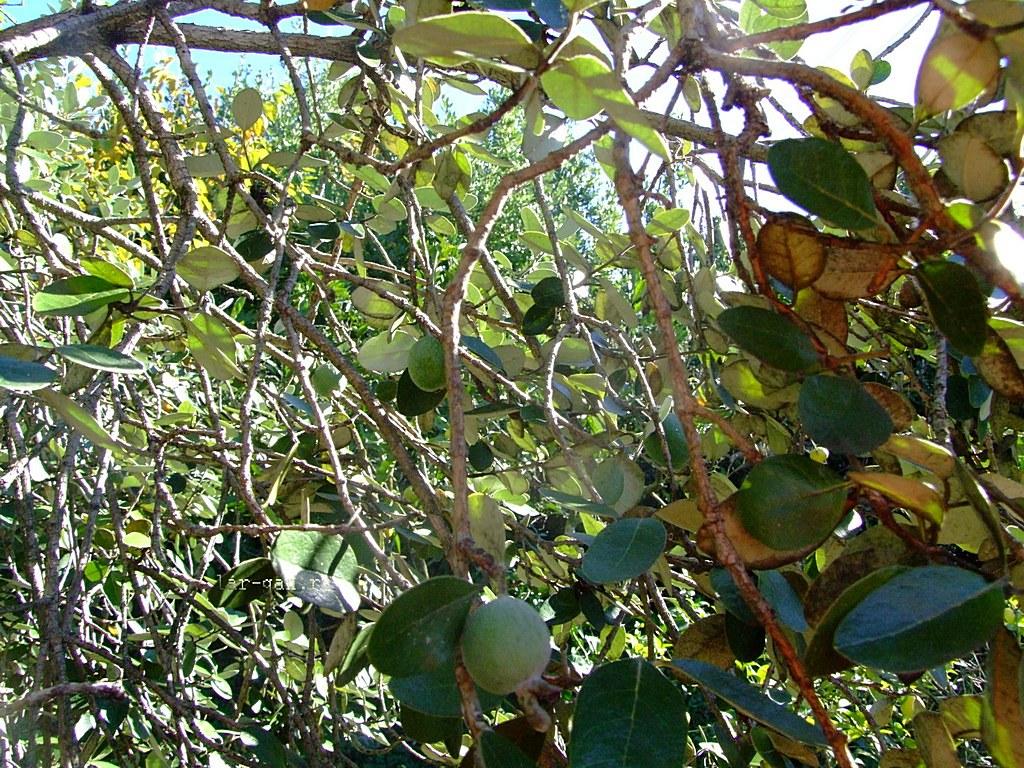 Как выглядит дерево фейхоа