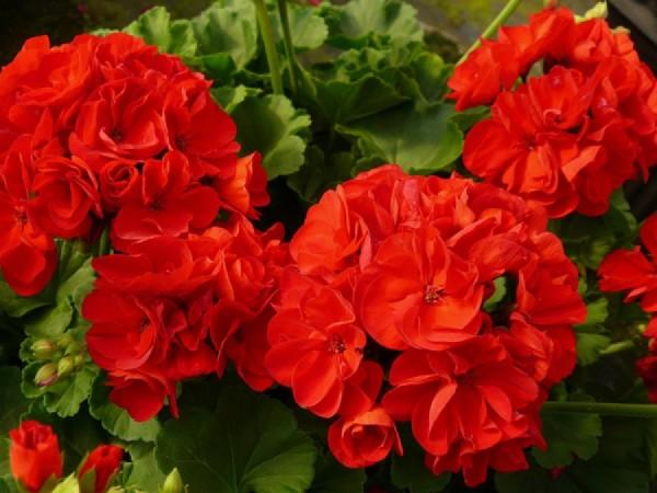 Пеларгония (герань): посадка, выращивание, уход, особенности сортов герани
