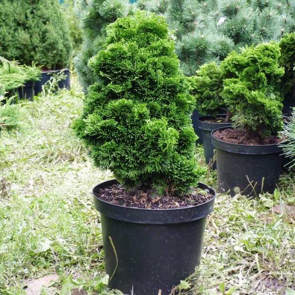 Как посадить тую в открытый грунт осенью
