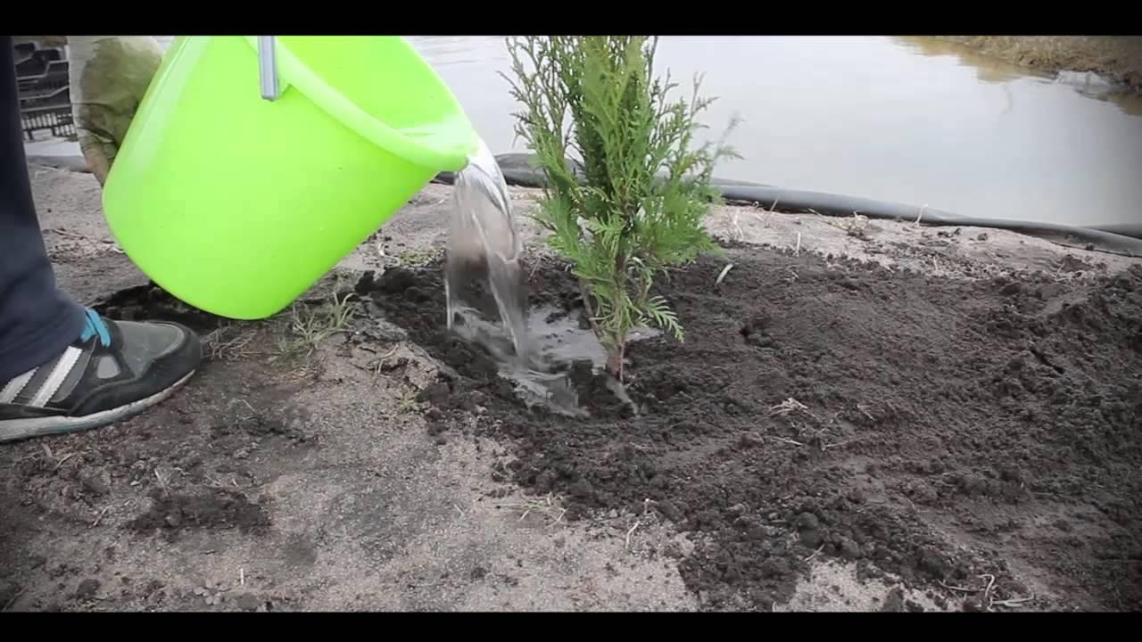 Размножение туи черенками в домашних условиях: как вырастить тую из веточки