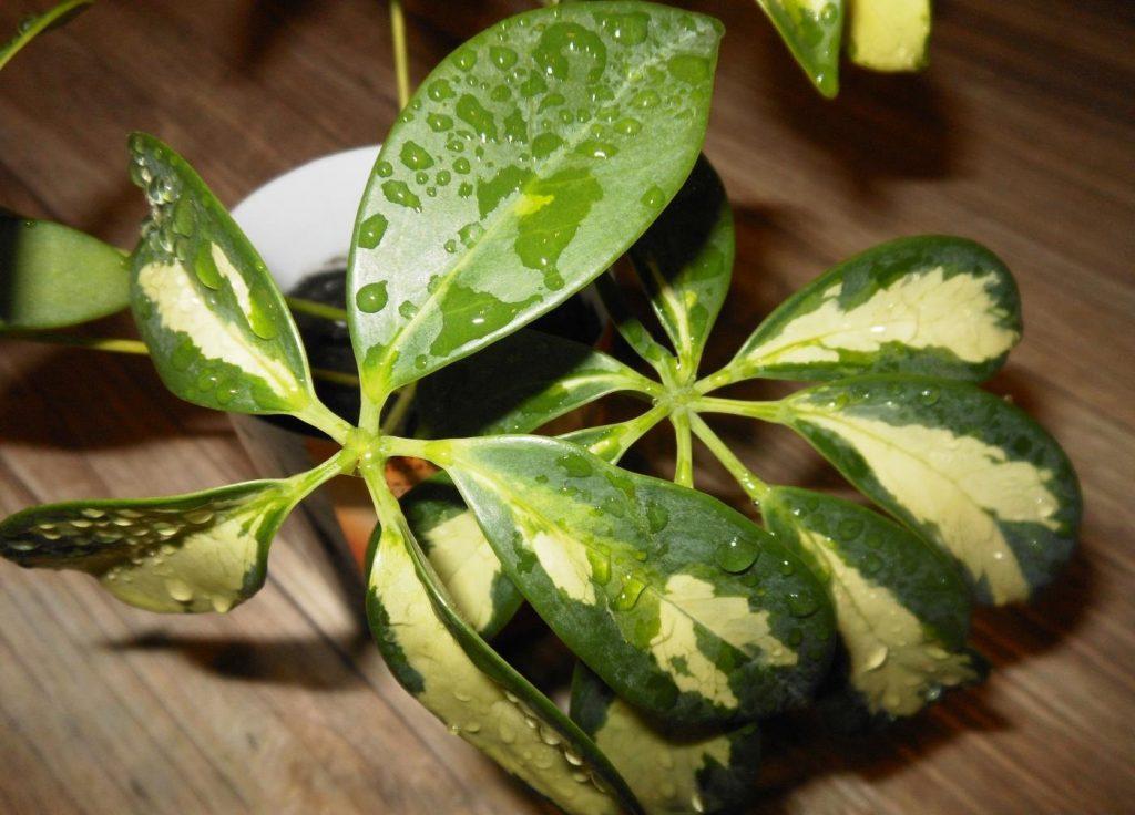 Цветок шефлера: размножение листом, черенками и отводами