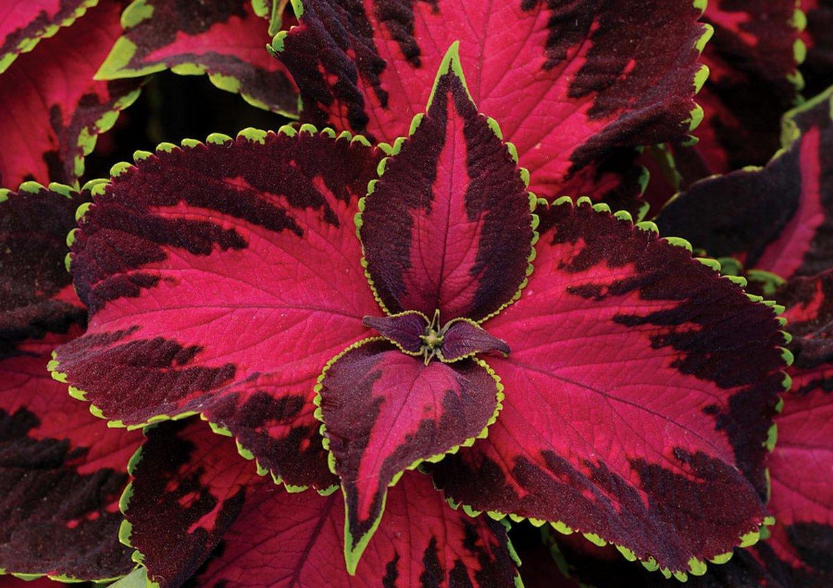 Цветы с зелено красными листьями картинки